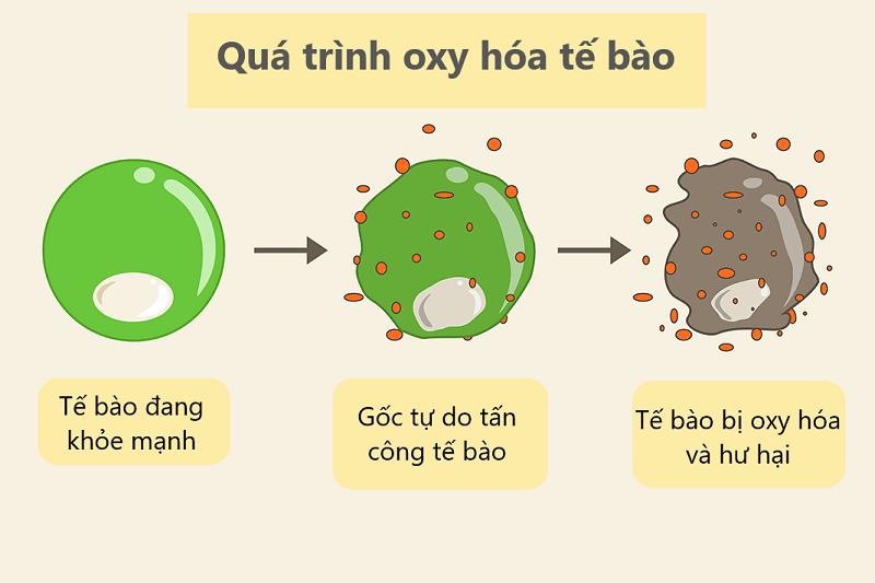 Tế bào bị ảnh hưởng do quá trình oxy hóa