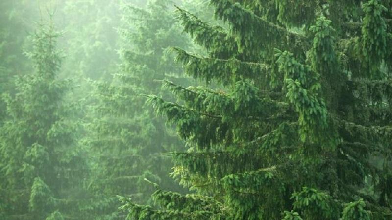 Cây vân sam Na Uy được đánh giá là có nguồn lignans cao nhất từ tự nhiên